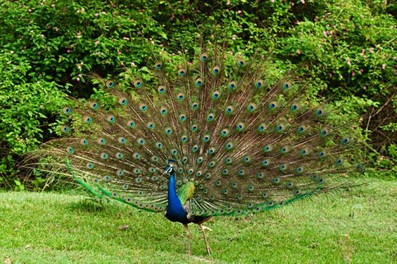 peacockfeatherfan